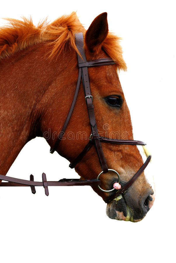 Portrait of english brown horse royalty free stock photo