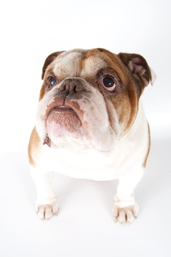 Portrait of an English bulldog close-up. royalty free stock photography