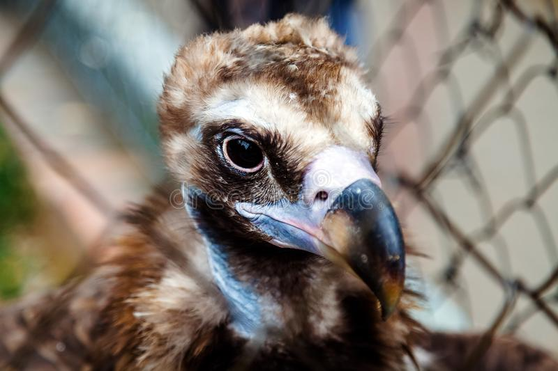 Portrait of eurasian black vulture royalty free stock photography
