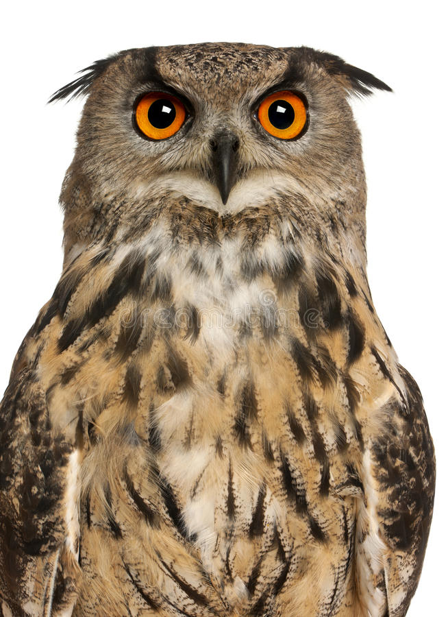 Portrait of Eurasian Eagle-Owl royalty free stock photography