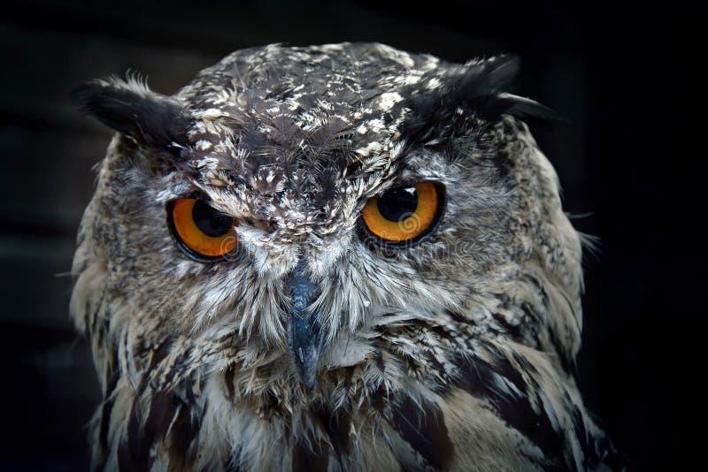 Portrait of eurasian eagle owl. Birds of prey in nature stock image