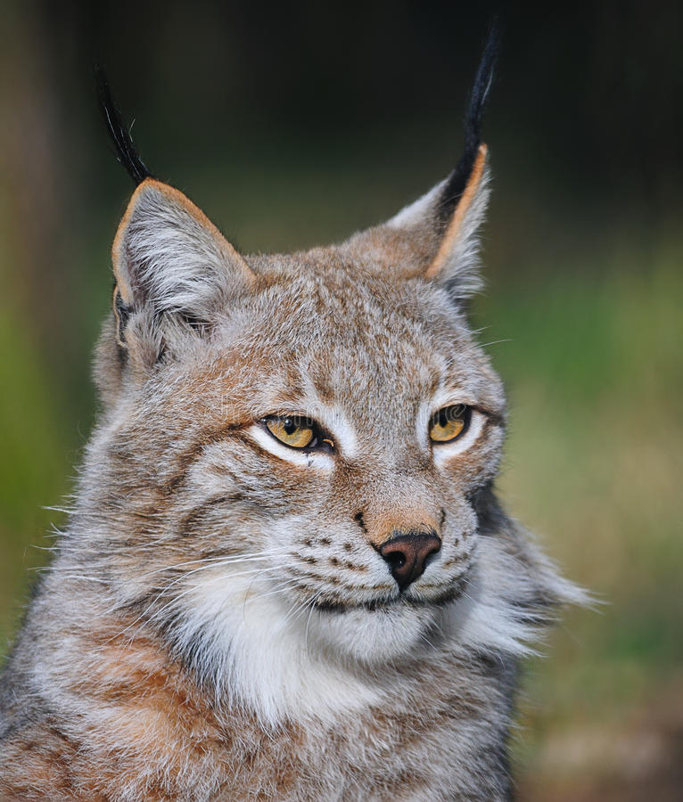 Portrait of an Eurasian lynx (Lynx lynx). The Eurasian lynx ranges from central and northern Europe across Asia. Since the beginning of the 20th century, the stock image