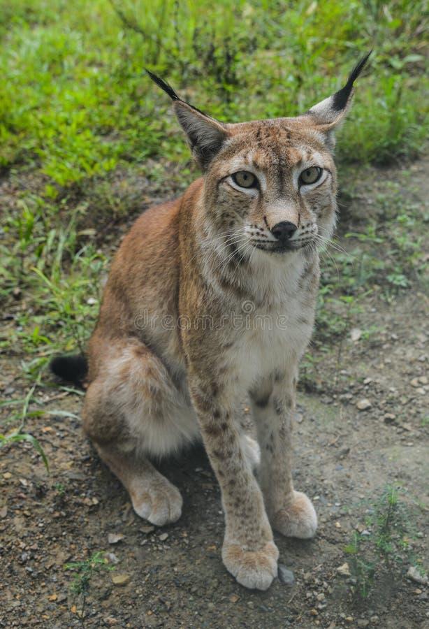 Portrait of an Eurasian Lynx stock photo