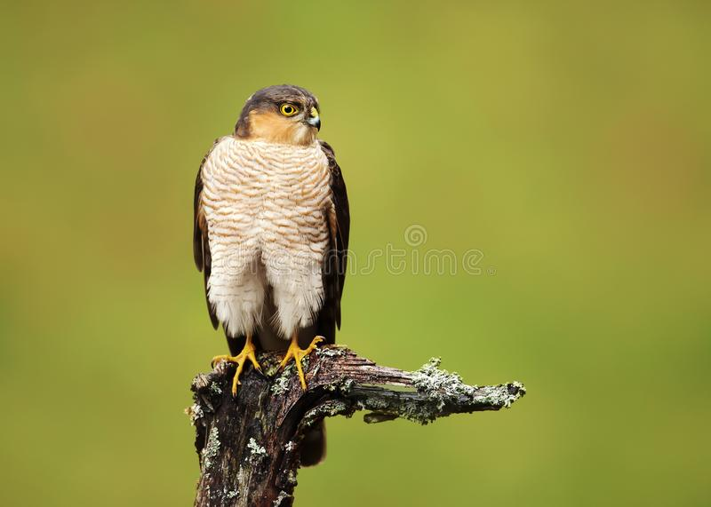 Portrait of Eurasian Sparrowhawk perched on a wooden post royalty free stock photography