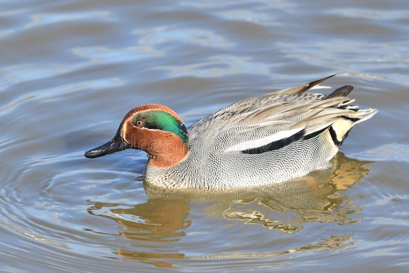 Eurasian teal anas crecca. Portrait of a Eurasian teal anas crecca with nuptial plumage swimming in the water stock photography
