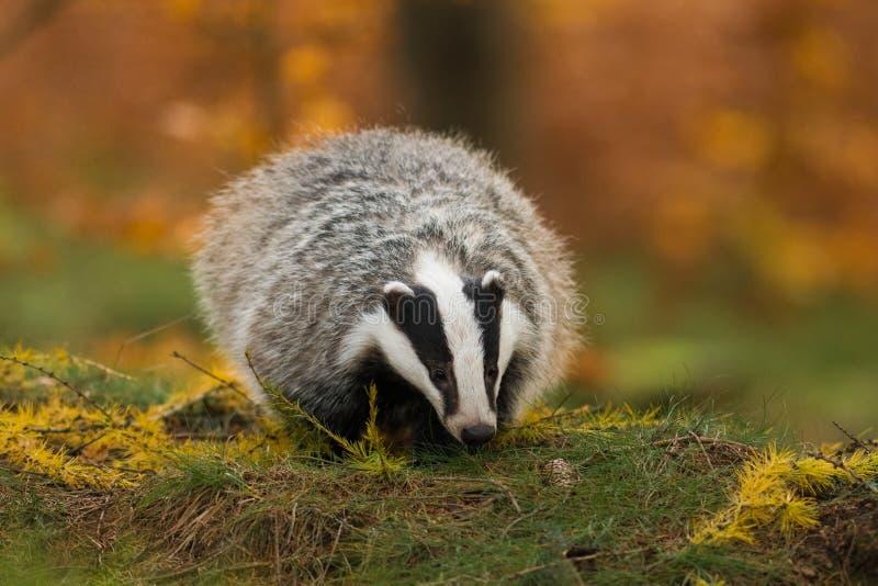 Portrait of European badger, Meles meles, in his natural environment. stock photos