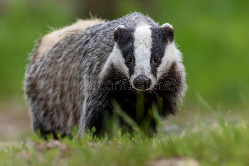 Portrait of European badger outdoors royalty free stock photo