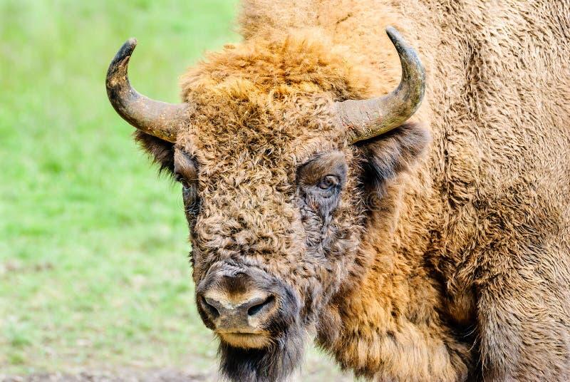 Portrait of the European bison stock photo