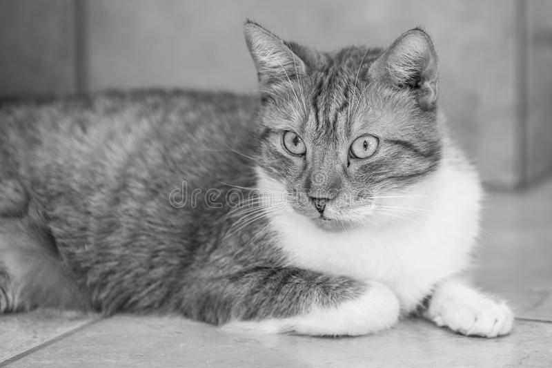 European cat living in belgium. Portrait of an european cat in animal shelter in belgium royalty free stock photo
