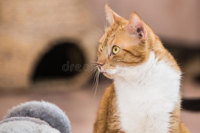European cat living in belgium. Portrait of an european cat in animal shelter in belgium stock images
