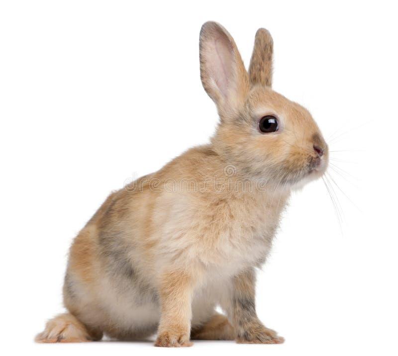 Portrait of a European Rabbit, Oryctolagus cuniculus stock photography