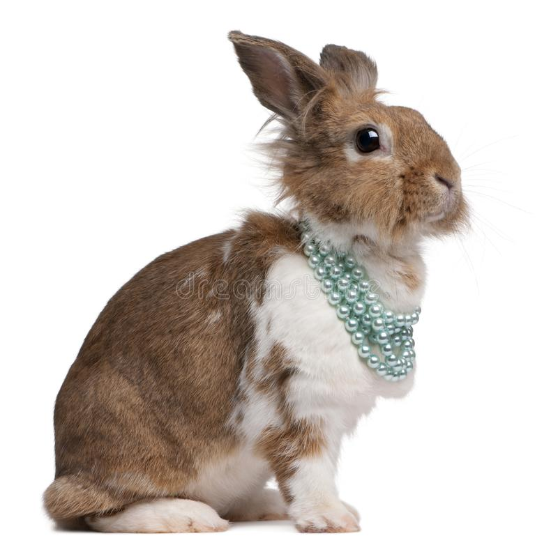 Portrait of a European Rabbit wearing pearl necklaces stock photo