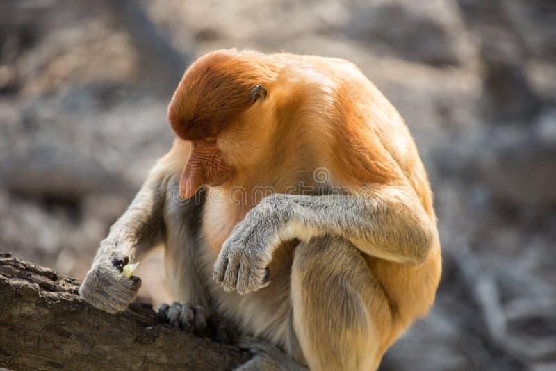 Portrait of fabulous long-nosed monkey royalty free stock images