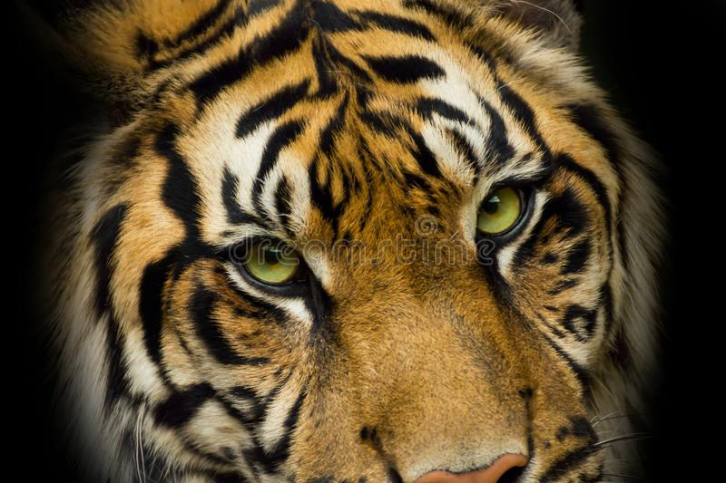 Portrait face tiger with green eyes stock images