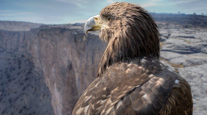 Portrait of a falcon on the plateau of the Jebel Shams, Oman. stock photo