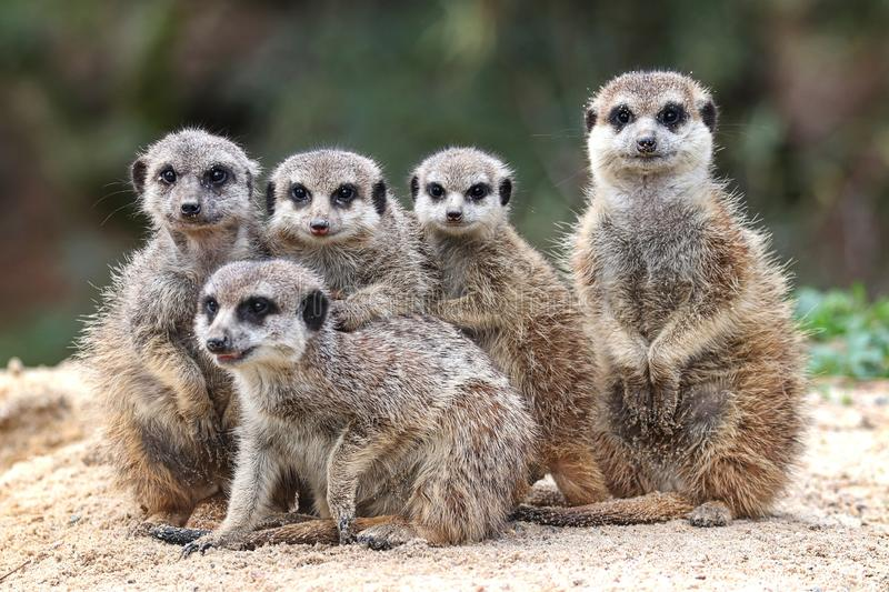 Portrait of a family of meerkats stock photo