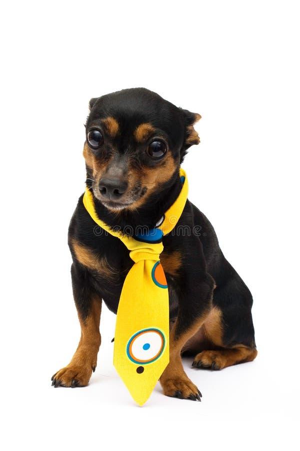 Portrait of fashion dog. Little funny dog. close-up. isolated on white stock images
