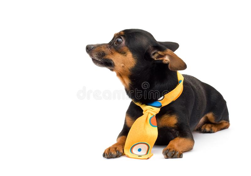 Portrait of fashion dog royalty free stock photography