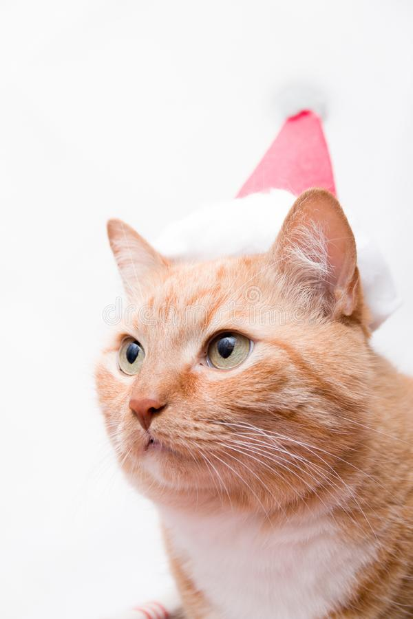 Portrait of a fat cute ginger cat with santa claus hat. On white background stock photos
