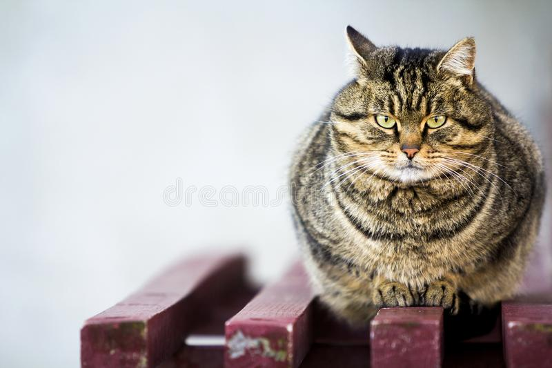 Portrait of a fat striped cat with green eyes.  royalty free stock image