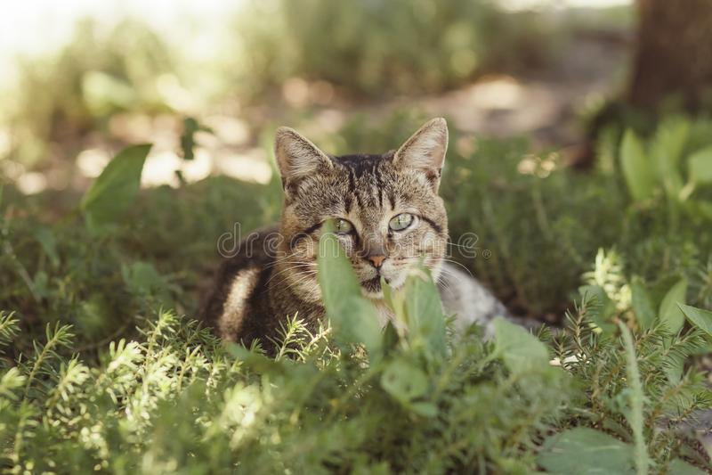 Portrait of a fat striped cat lying on green glade, pet walking outdoors in summer, funny animals on nature royalty free stock photos