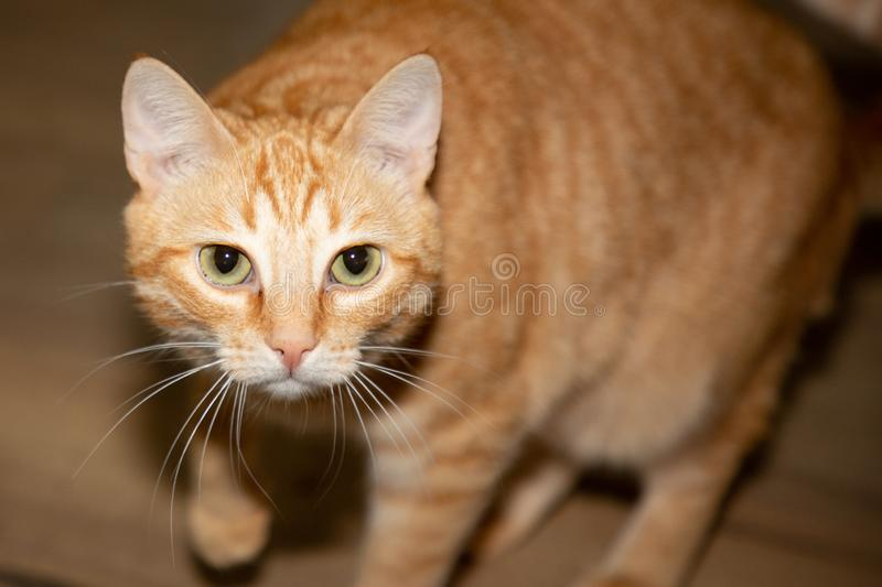 Portrait of feline cat pet animal in closeup at home. A portrait of feline cat pet animal in closeup at home stock photo