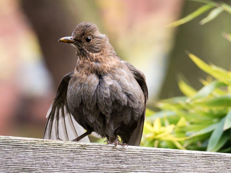 Portrait of female adult common blackbird, Turdus merula, drying stock photography