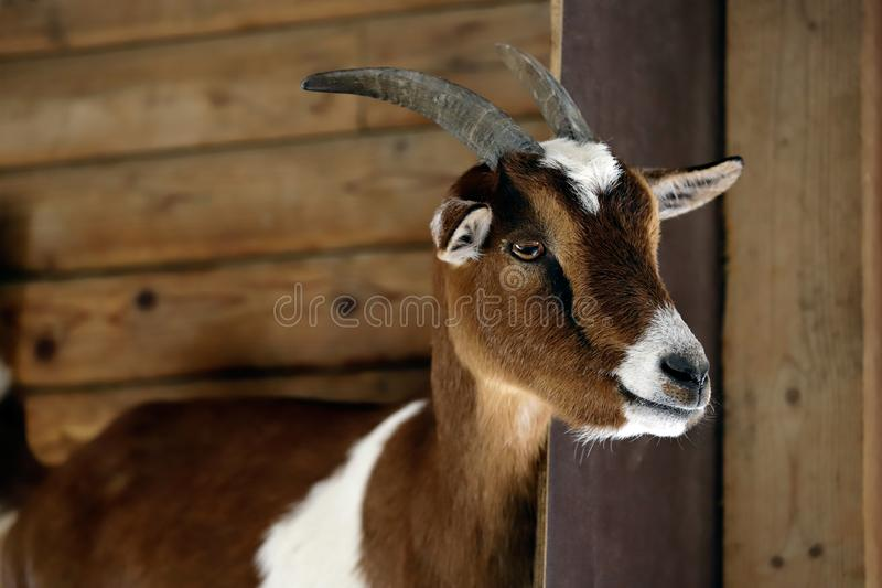 Portrait of female African pygmy goat on the farm. Photography of nature and wildlife royalty free stock images