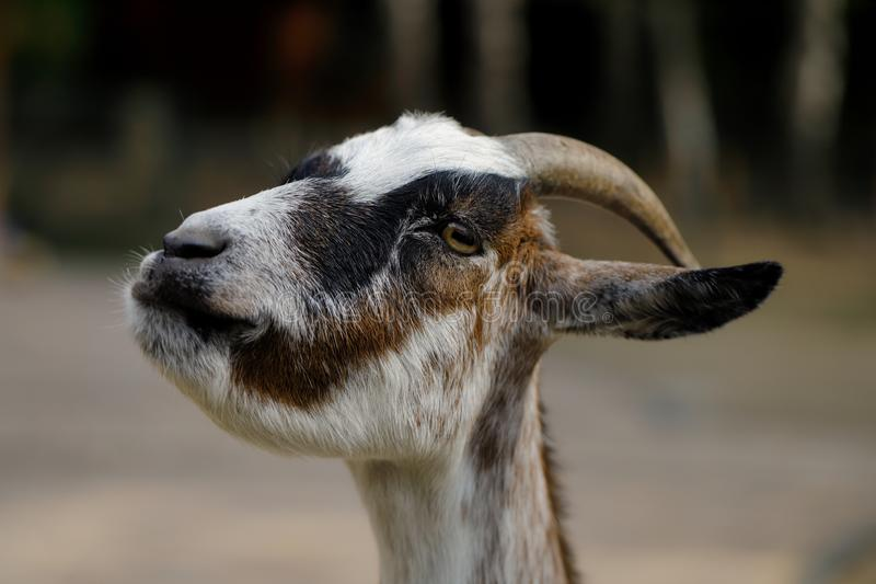 Portrait of female African pygmy goat on the farm. Photography of nature and wildlife royalty free stock photography