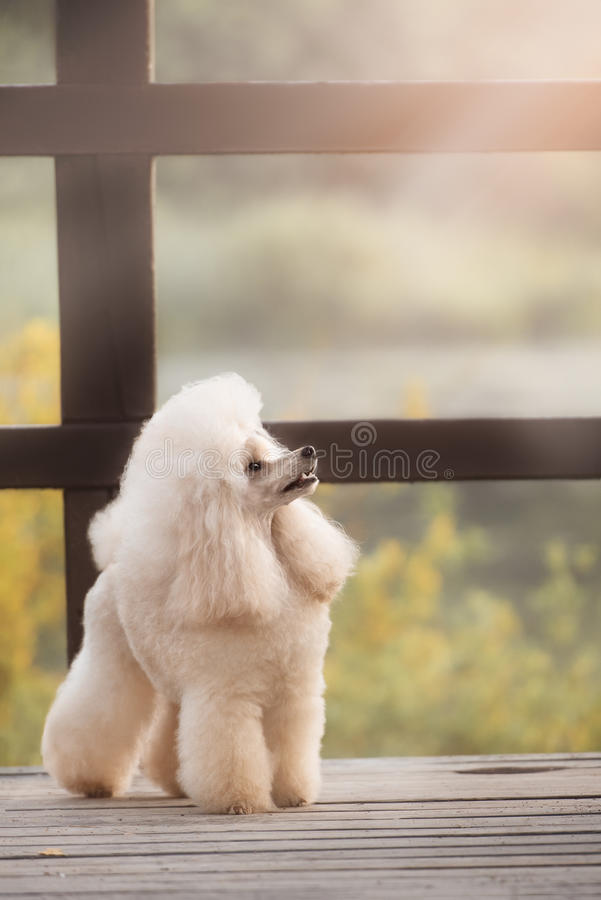 Portrait of a female apricot poodle dog. In outdoore royalty free stock photos