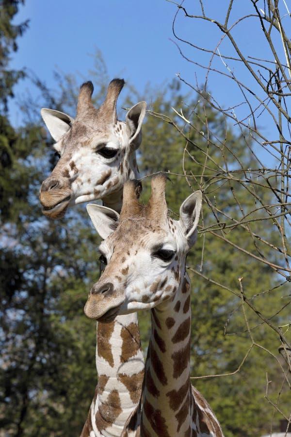 Free Portrait Female Baringo Giraffe, Giraffa Camelopardalis Rothschild Stock Photos - 70668113