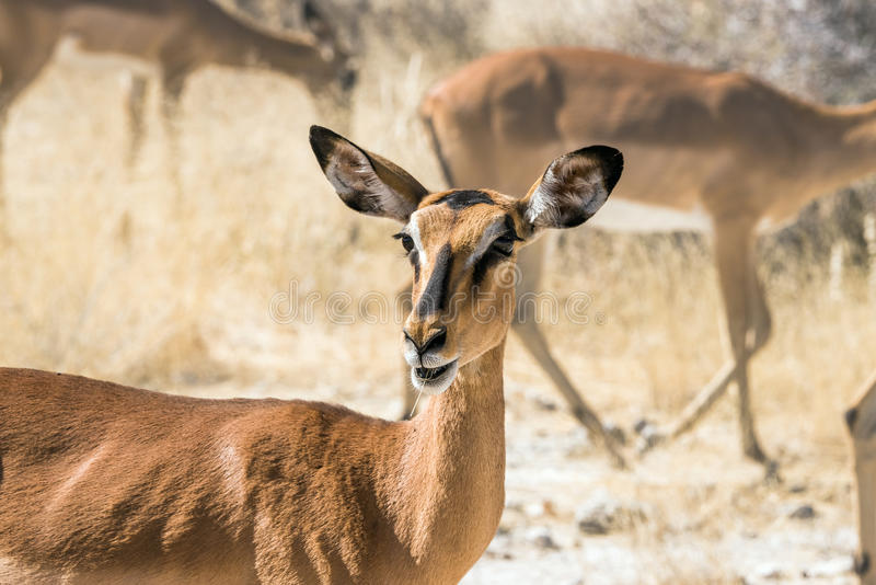 Portrait of a female black-faced impala antelope stock images