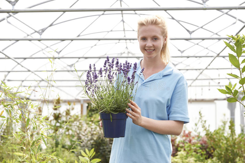 Portrait Of Female Employee At Garden Center Holding Plant royalty free stock photo