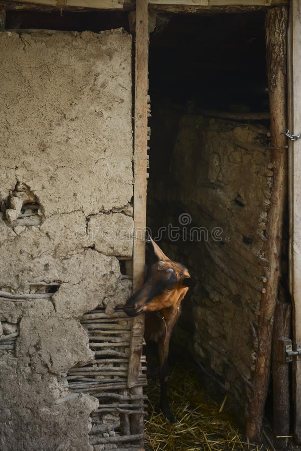 Portrait of female goat in barn royalty free stock images