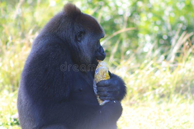 Portrait female gorilla and popcorn stock images