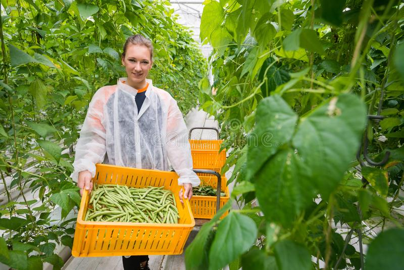 Portrait of female greenhouse worker carrying crate with harvest royalty free stock image