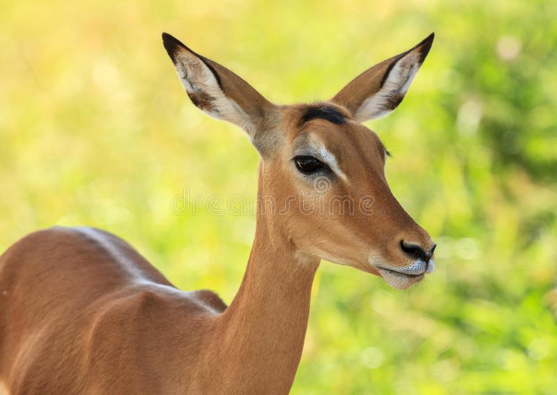 A portrait of a female Impala antelope royalty free stock images
