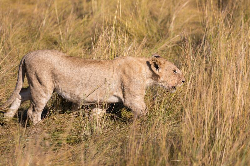Portrait of Female lion, leo panthera, hunting in the tall grass of the Maasai Mara in Kenya, Africa royalty free stock photography