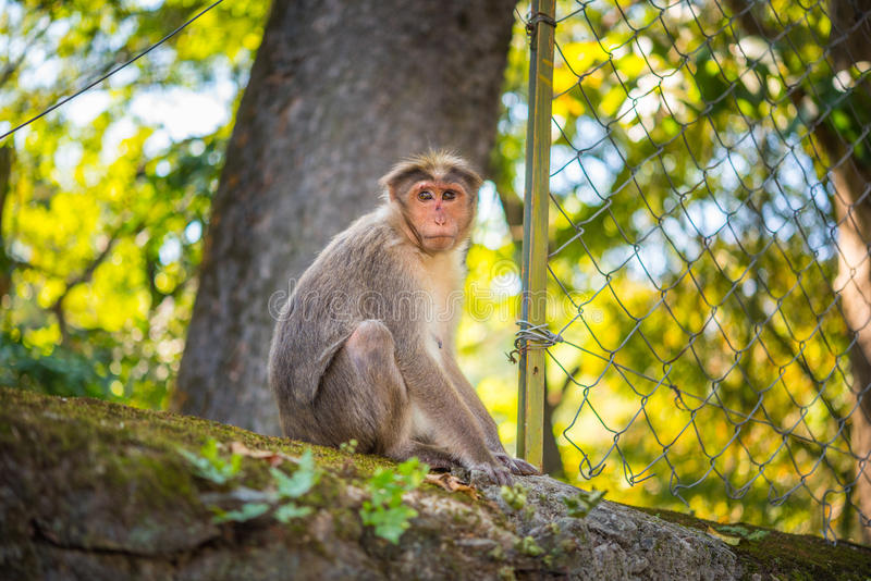 Portrait of a female macaque (Macaca radiata). That sits on the top of the concrete wall of Periyar National Park in Kumily, Kerala, India stock photography