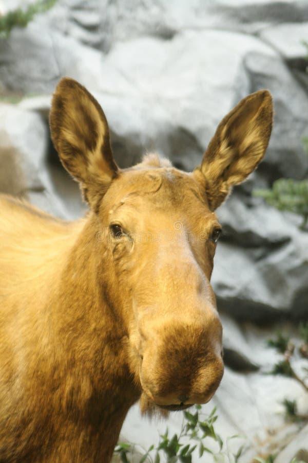 Portrait of female Moose royalty free stock image