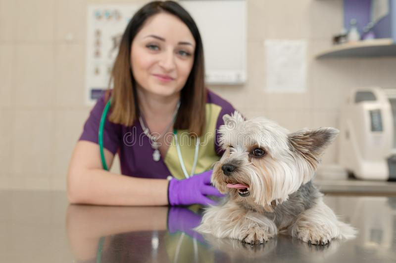 Portrait female professional veterinarian with her patient dog breed yorkshire terrier in pet hospital.  stock images