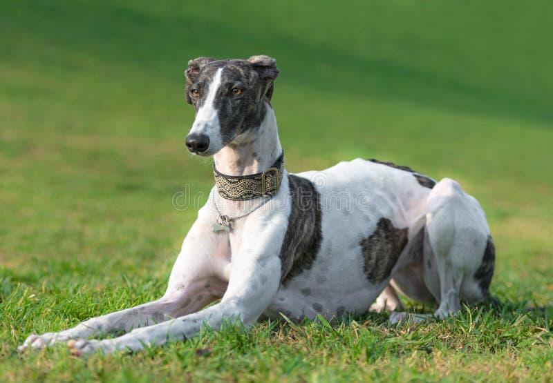 Portrait of a female spanish greyhound dog stock images