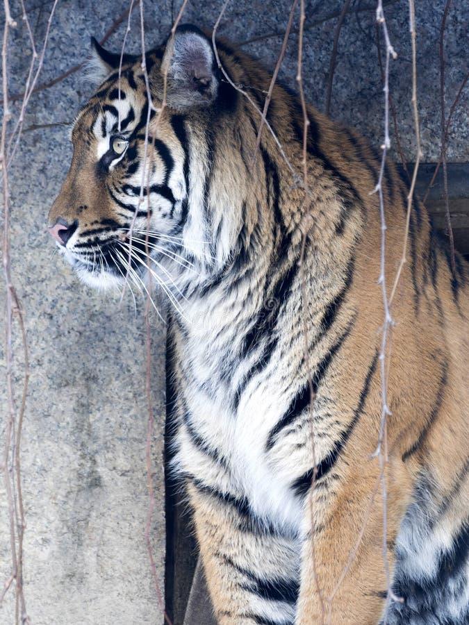Portrait of a female Sumatran tiger, Panthera tigris sumatrae zoo in Jihlava. The portrait of a female Sumatran tiger, Panthera tigris sumatrae zoo in Jihlava stock image