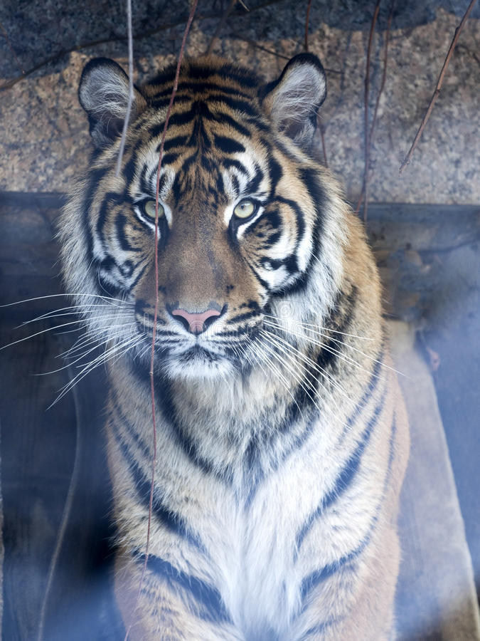Portrait of a female Sumatran tiger, Panthera tigris sumatrae zoo in Jihlava. The portrait of a female Sumatran tiger, Panthera tigris sumatrae zoo in Jihlava royalty free stock photos
