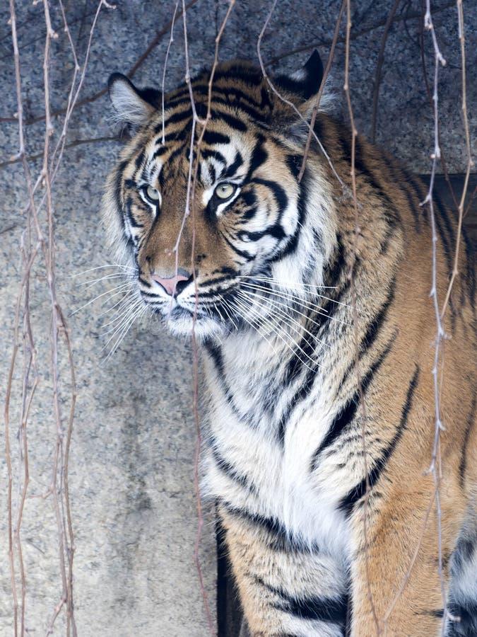 Portrait of a female Sumatran tiger, Panthera tigris sumatrae zoo in Jihlava. The portrait of a female Sumatran tiger, Panthera tigris sumatrae zoo in Jihlava stock photos