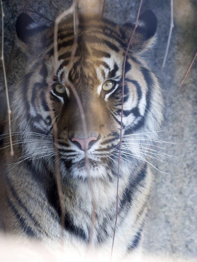 Portrait of a female Sumatran tiger, Panthera tigris sumatrae zoo in Jihlava. The portrait of a female Sumatran tiger, Panthera tigris sumatrae zoo in Jihlava royalty free stock photo