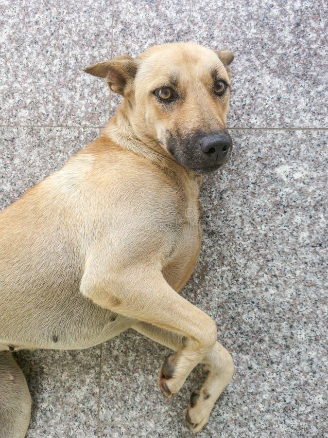 Portrait femelle étonnant de chien avec de beaux yeux bruns photo stock