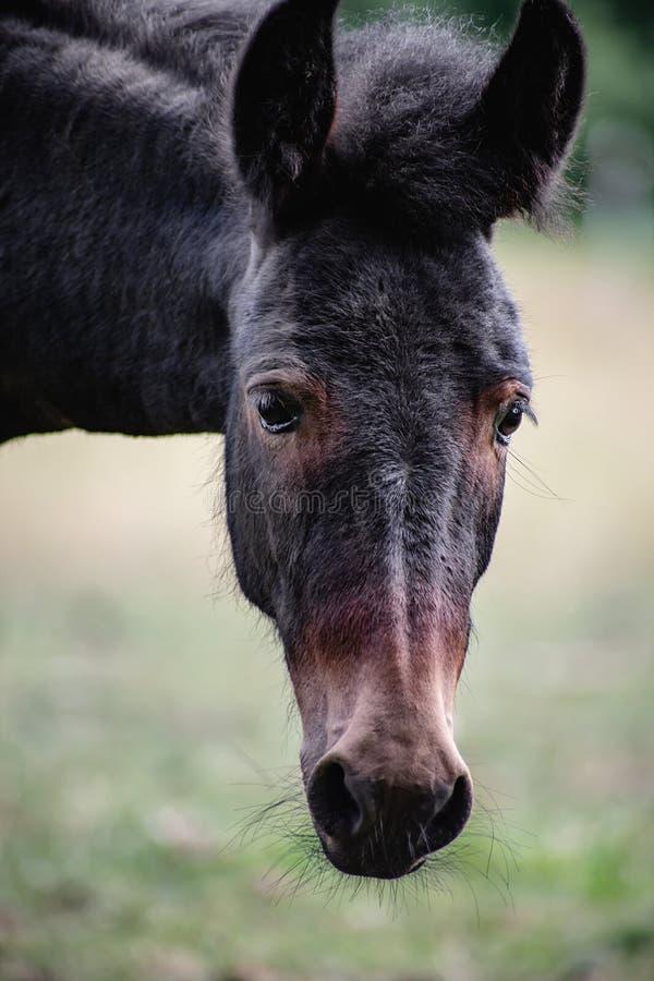 Portrait femelle de jeune mule photographie stock libre de droits