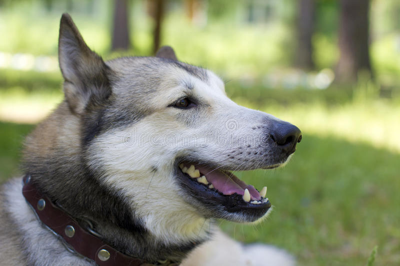 Portrait of a fighting dog. West Siberian husky dog in wood stock photo