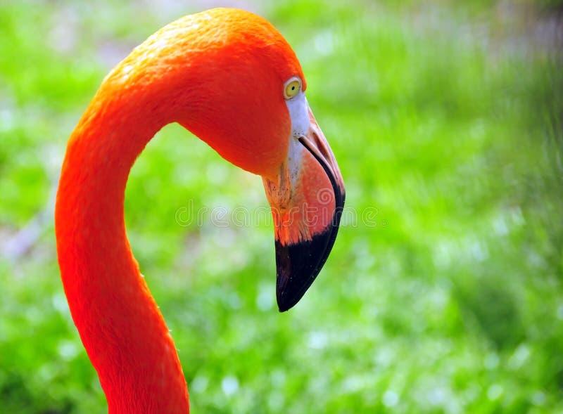 Portrait of flamingo stock photography